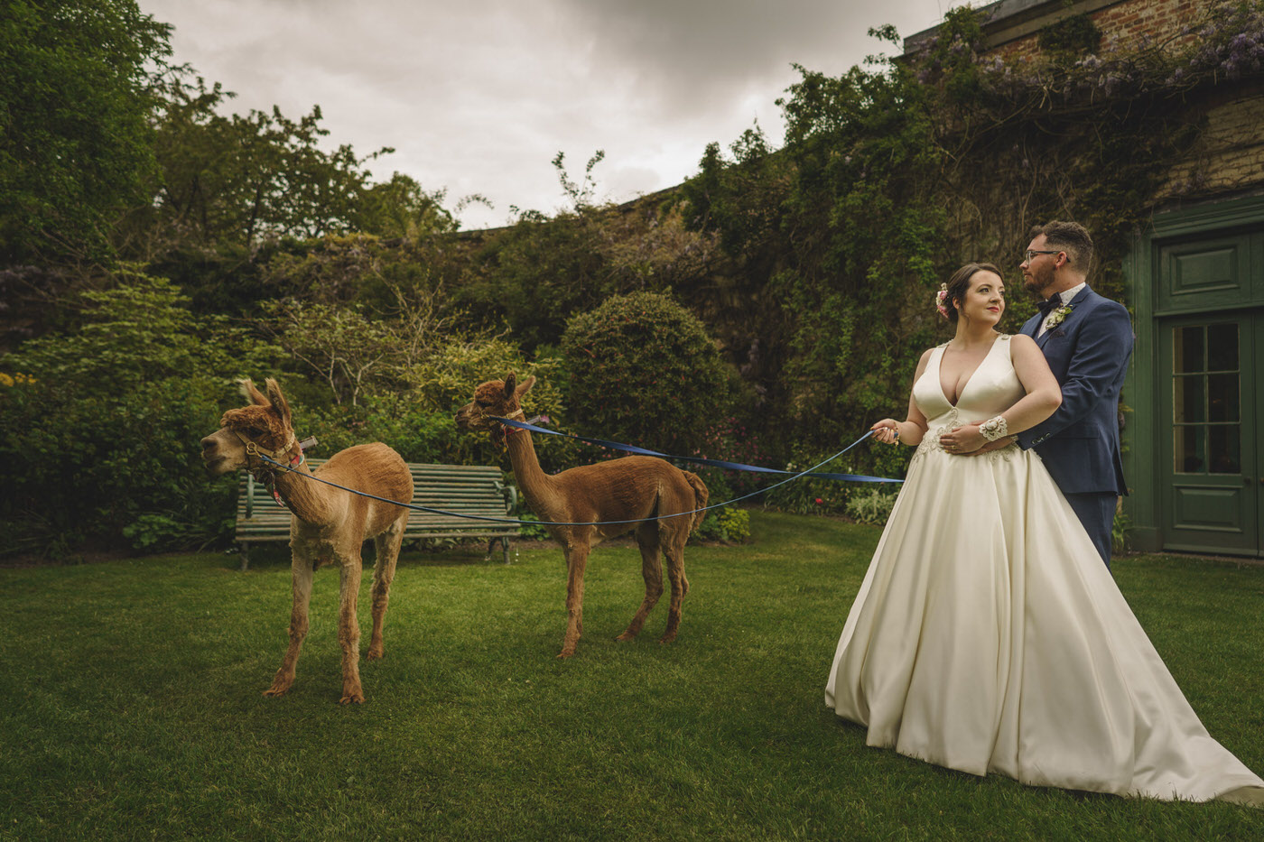 Alpaca's with the bride and groom at a Walcot Hall Wedding